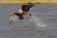 Chobe-River_060